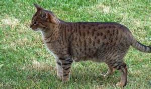 Light Brown Spotted Tabby Cat