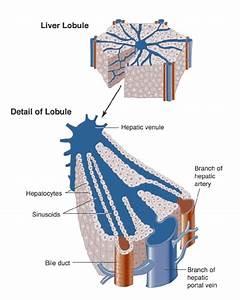 Autoimmune Cholangitis