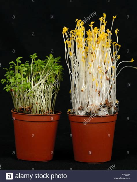 lights that look like sunlight cress seedlings left grown in normal light compared to