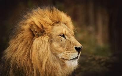 Lion Face Wallpapers Desktop Cave