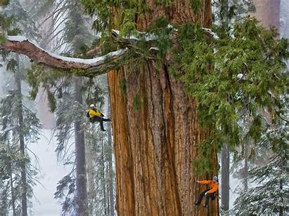 Sequoia Trees Giant National Grow Park Redwoods