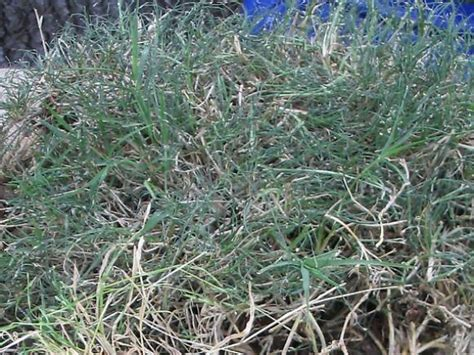 How To Defeat Bermuda Grass