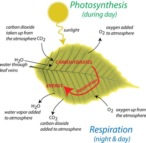 image gallery leaf photosynthesis process