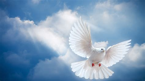 pigeon white blue sky  white clouds hd wallpapers