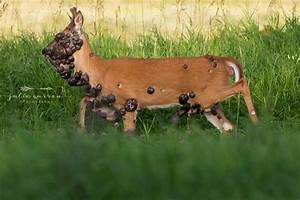 Heartbreaking Pictures Show Deer With Dozens Of Tumours