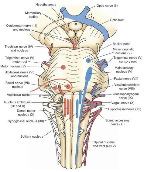 Cranial Nerves Diagram Dog