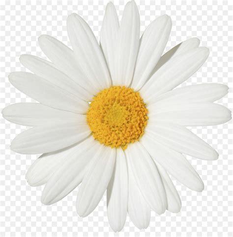 common daisy stock photography transvaal daisy flower clip