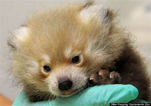 Sacramento Zoo's Red Panda Cub Will Hopefully Be Able To ...