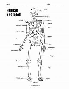 Human Skeleton Bones Worksheet