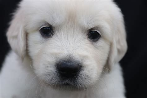 Rosie Akc Golden Retriever Puppy North Manchester