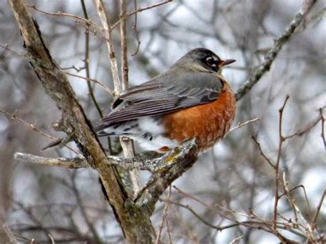 top 28 where do robins migrate to in the winter