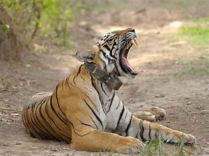 'Tiger census': Largest survey of wildlife in the world ...