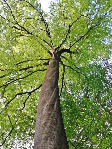 Buche Buchenbaum Baumkrone · Kostenloses Foto auf Pixabay