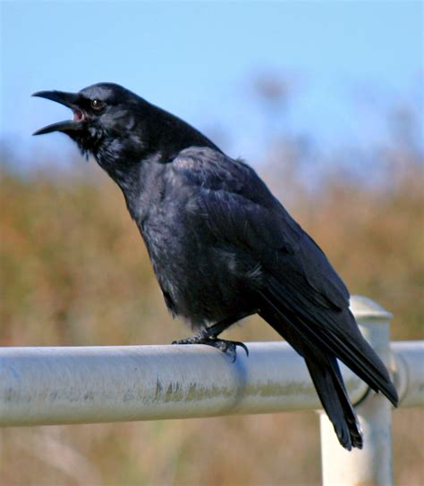 walla walla ponderings magpies crows and ravens