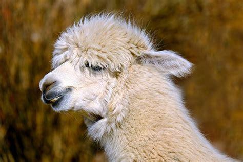 alpaca animal creature  photo  pixabay