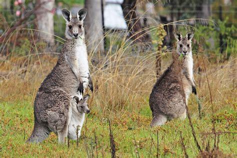 National Geographics: kangaroo