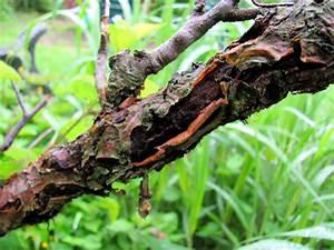 Schädlinge Am Kirschbaum : rinde platzt gro fl chig vom stamm ab der ~ Lizthompson.info Haus und Dekorationen