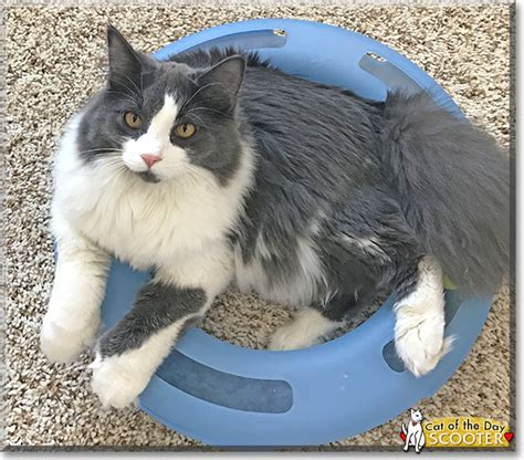 Ragdoll Mix Scooter Maine Coon Ragdoll Mix February 28 2019