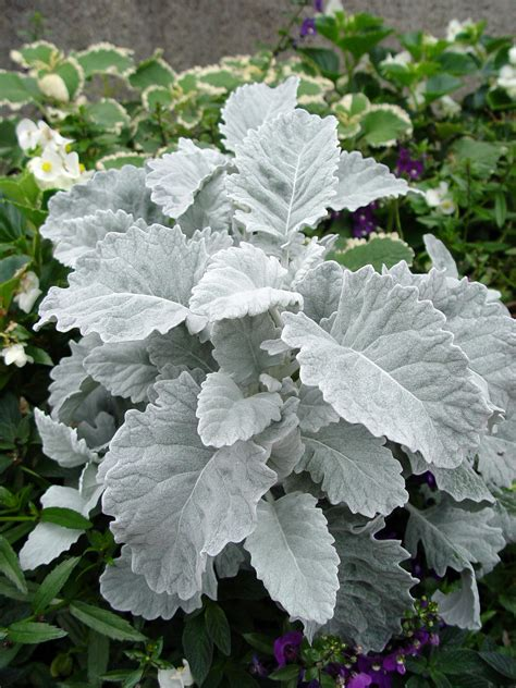 dusty miller plant dusty miller on pinterest bouquets boutonnieres and weddings