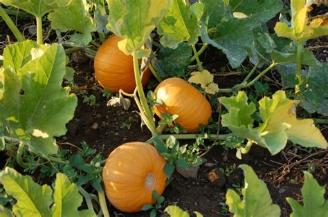 Top 10 Tips On Growing Your Own Pumpkins  Top Inspired
