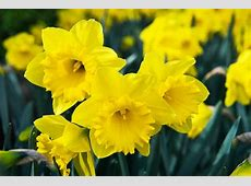 Narcissus 'Dutch Master' Trumpet Daffodil