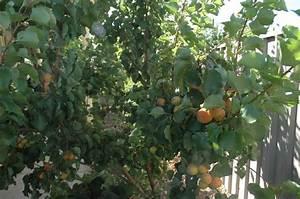 Buy Apricot Storeys (Early Moorpark) Fruit Tree - Prunus ...