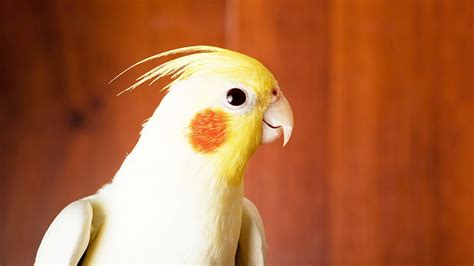 how to take care of a cockatiel pet bird youtube