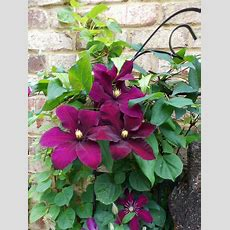 Clematis  This Is A Beautiful Climbing Garden Plant It