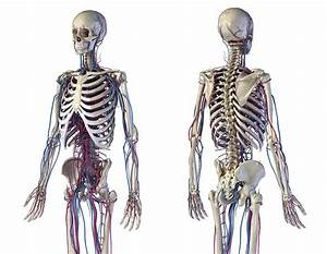 Front And Back View Of Human Skeletal