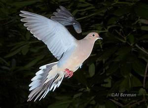 Mourning Dove in flight. | Mourning dove, Dove flying ...