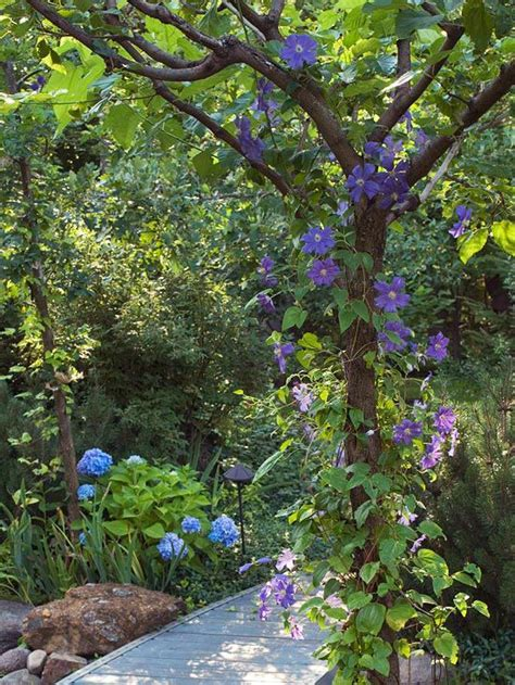 best climbing vines 17 best images about gardening vines creepers on pinterest csis vines and the general