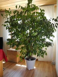 Ficus Benjamini Kaufen : pflanzen b ume str ucher pflanzen garten mannheim gebraucht kaufen ~ A.2002-acura-tl-radio.info Haus und Dekorationen