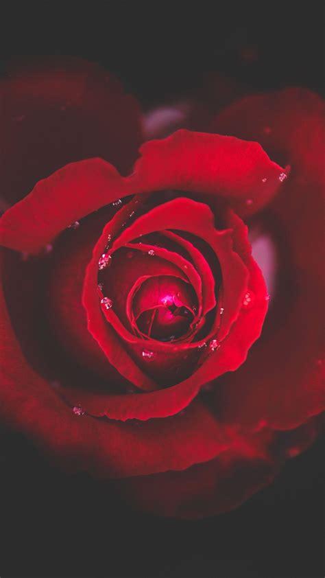 wallpaper  rose bud red drops close