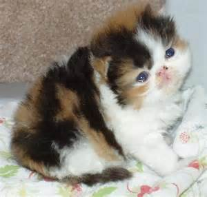 Persian Calico Kittens 3 Weeks Old
