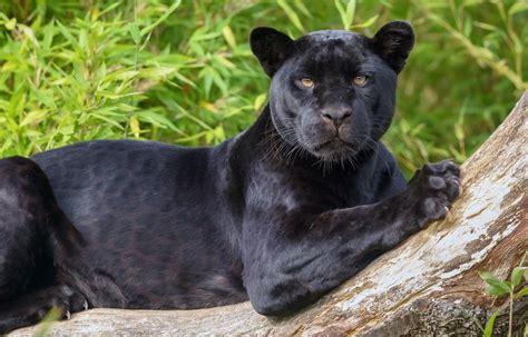 Black Jaguar by Black Panther Jaguar Wallpaper Animals Wallpaper Better
