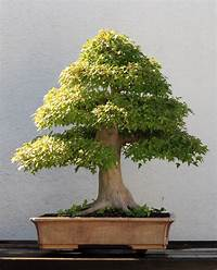 trident maple tree File:Trident Maple bonsai 202, October 10, 2008.jpg - Wikimedia Commons