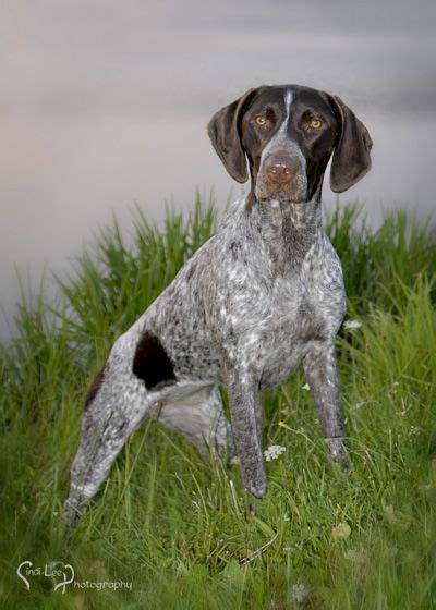 100+ ideas to try about GSP ,German shorthaired pointer