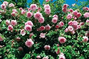Rosier Grimpant Remontant : les rosiers grimpants rosier d coratif roseraie guillot ~ Melissatoandfro.com Idées de Décoration