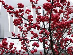 Busch Mit Roten Beeren : korallenh lse 39 red couple 39 rote winterbeere 39 red couple 39 ilex verticillata 39 red couple ~ Markanthonyermac.com Haus und Dekorationen