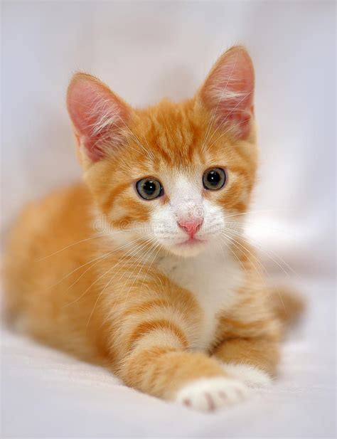 Cute Ginger Kitten With Blue Eyes Stock Photo Image Of