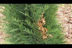 Lebensbaum Wird Braun : koniferen kleinw chsig so w hlen sie f r flache hecken ~ Lizthompson.info Haus und Dekorationen