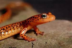 Orange Salamander 3s.jpg photo - Jeff Dietsch photos at ...
