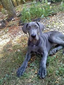 Cute Dogs: Blue Great Danes