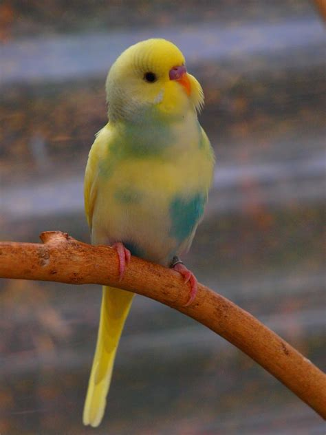 budgie colors bird room ideas are addictive you been warned