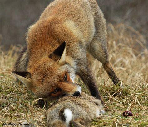 Fox attack cat