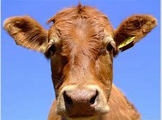 National Animal Of Nepal Cow 123Countriescom