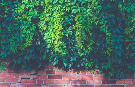 green leaf vines  red brick wall hd wallpaper