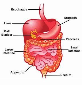 Esophagus  Stomach  Liver  Appendix  Large Intestine