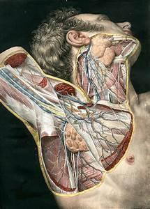 Loges Musculaires  Apon U00e9vroses  Vaisseux Et Nerfs Du Cou E