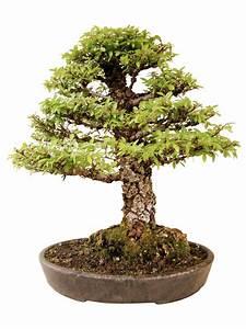 Bonsai Chinesische Ulme : chinesische ulme k ul genki bonsai ~ Sanjose-hotels-ca.com Haus und Dekorationen